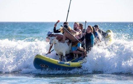 Kaliforniyada sörfinqçi keçi ulduza çevrilib